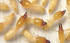 شركة ماسة لمكافحة النمل الابيض بالدمام